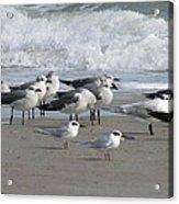 Gulls Terns Skimmers Acrylic Print