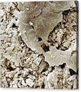 Gypsum Crystals Sem Acrylic Print by Science Photo Library