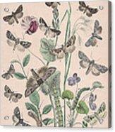 Hadenidae - Xylinidae Acrylic Print