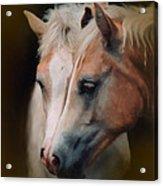 Haflinger Foal Friends Acrylic Print