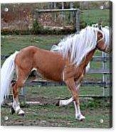 Haflinger Stallion Acrylic Print