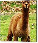 Hairy Brown Gumby Aka Brown Alpaca Acrylic Print