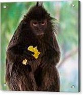 Hairy Monkey Acrylic Print