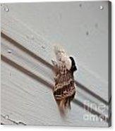 Hairy Russian Moth Acrylic Print