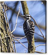 Hairy Woodpecker - Female Acrylic Print