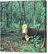 Haleakala National Park Hawaii Cow On Waterfall Trail Acrylic Print