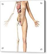 Half Cutaway View Showing Skeleton Acrylic Print by Leonello Calvetti
