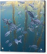 Halfmoon School And Giant Kelp Cortes Acrylic Print