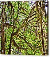 Hall Of Mosses In Hoh Rain Forest In Olympic National Park-washington Acrylic Print