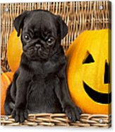 Halloween Pug Acrylic Print by Greg Cuddiford