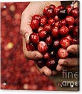 Handful Of Fresh Cranberries Acrylic Print