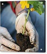 Hands Planting Plant Acrylic Print