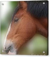 Handsome Bay Shire Horse Acrylic Print