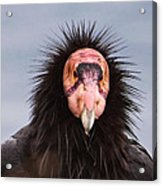 Handsome California Condor Acrylic Print