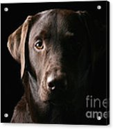 Handsome Chocolate Labrador Acrylic Print by Justin Paget