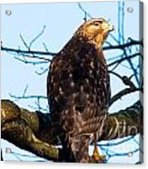 Handsome Hawk Acrylic Print
