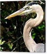 Handsome Heron Acrylic Print
