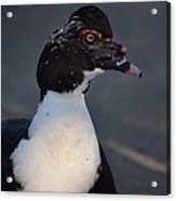 Handsome Muscovy Acrylic Print