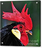 Handsome Rooster Acrylic Print