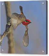 Handsome Vermillion Off The Limb Acrylic Print