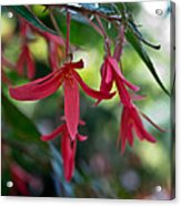 Hanging Asian Lillies Acrylic Print