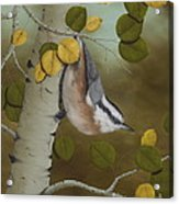 Hanging Around-red Breasted Nuthatch Acrylic Print
