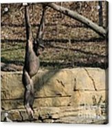 Hanging Chimp 365 Acrylic Print