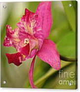 Hanging Orchid Acrylic Print