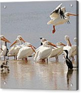 Hanging Out At The Ol' Sandbar Acrylic Print