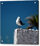 Hanging Out In Key West 2 Acrylic Print