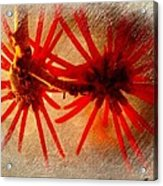 Hanging Spider Blooms Acrylic Print