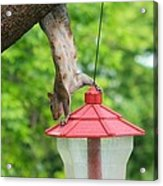 Hanging Squirrel Acrylic Print