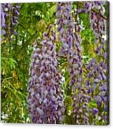 Hanging Wisteria Blossoms Acrylic Print