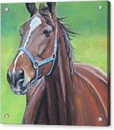 Hanover Shoe Farm Horse Acrylic Print