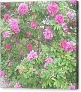 Hansa Roses Acrylic Print
