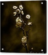 Happily Ever Aster Acrylic Print