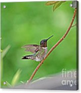 Happy As A Hummer Acrylic Print