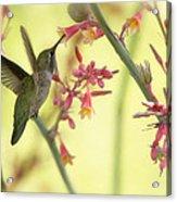 Happy As A Hummingbird  Acrylic Print