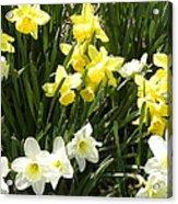 Happy Daffodils  Acrylic Print by Cim Paddock