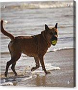 Happy Dogs 7 Acrylic Print
