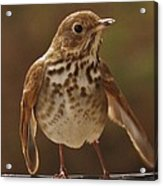Happy Hermit Thrush Acrylic Print