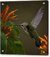 Happy Little Hummingbird  Acrylic Print