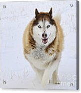 Happy Husky Acrylic Print