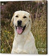 Happy Labrador Acrylic Print