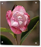 happy mother's day - Camellia Acrylic Print