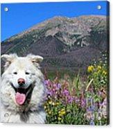 Happy Mountain Dog Acrylic Print