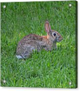 Happy Rabbit Acrylic Print
