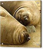 Happy Seals Acrylic Print