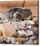 Harbour Seal   Acrylic Print