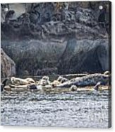 Harbour Seals Resting Acrylic Print